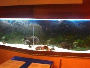 Taras - Acquario piranha